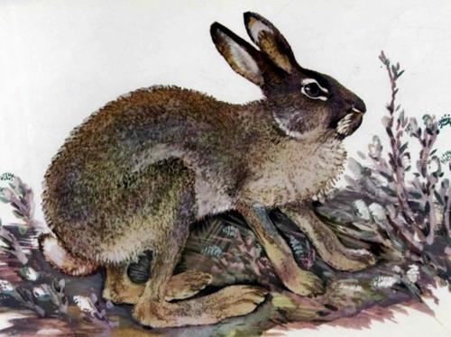 заяц - чарушин евгений