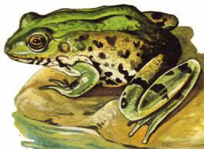 Жаба — Ганс Христиан Андерсен